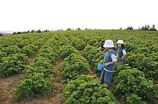 Strawberry picking 4