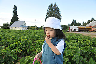 Strawberry picking 7