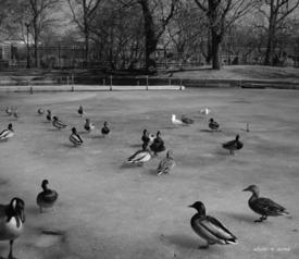 Ducks_on_frozen_lake_ss_bw_375