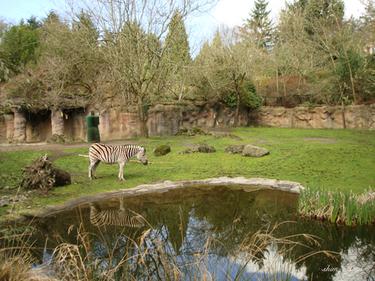 Zebra_ss_500