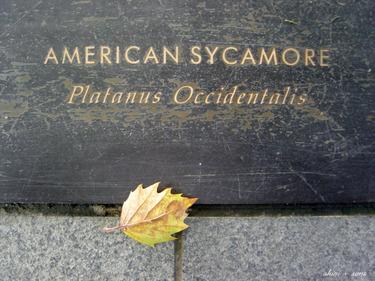 American_sycamore_2