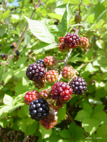 Blackberry_picking_3